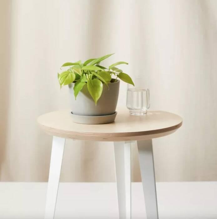 Plantas da moda: Philodendron lemon lime