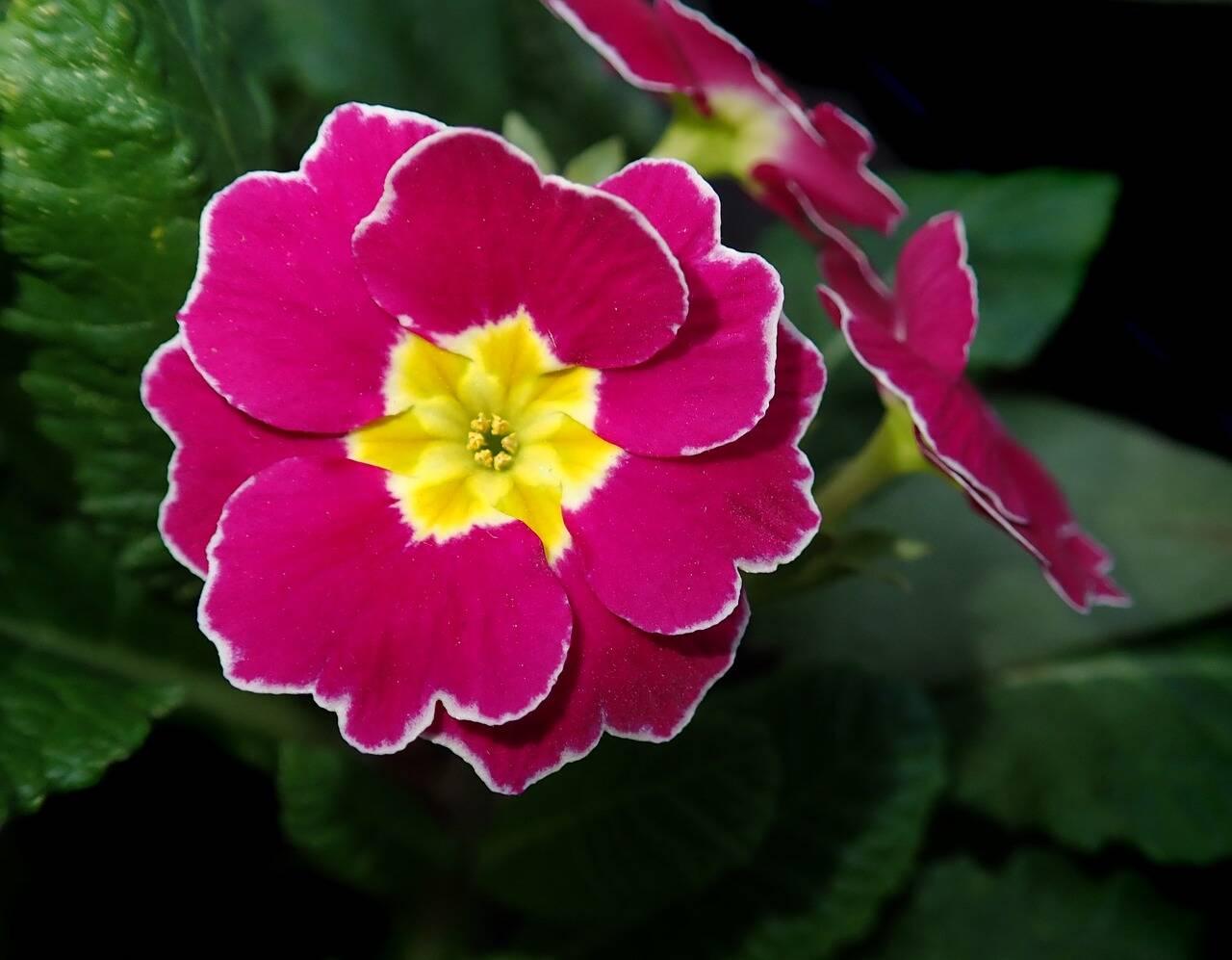 Plantas de casa: Primula