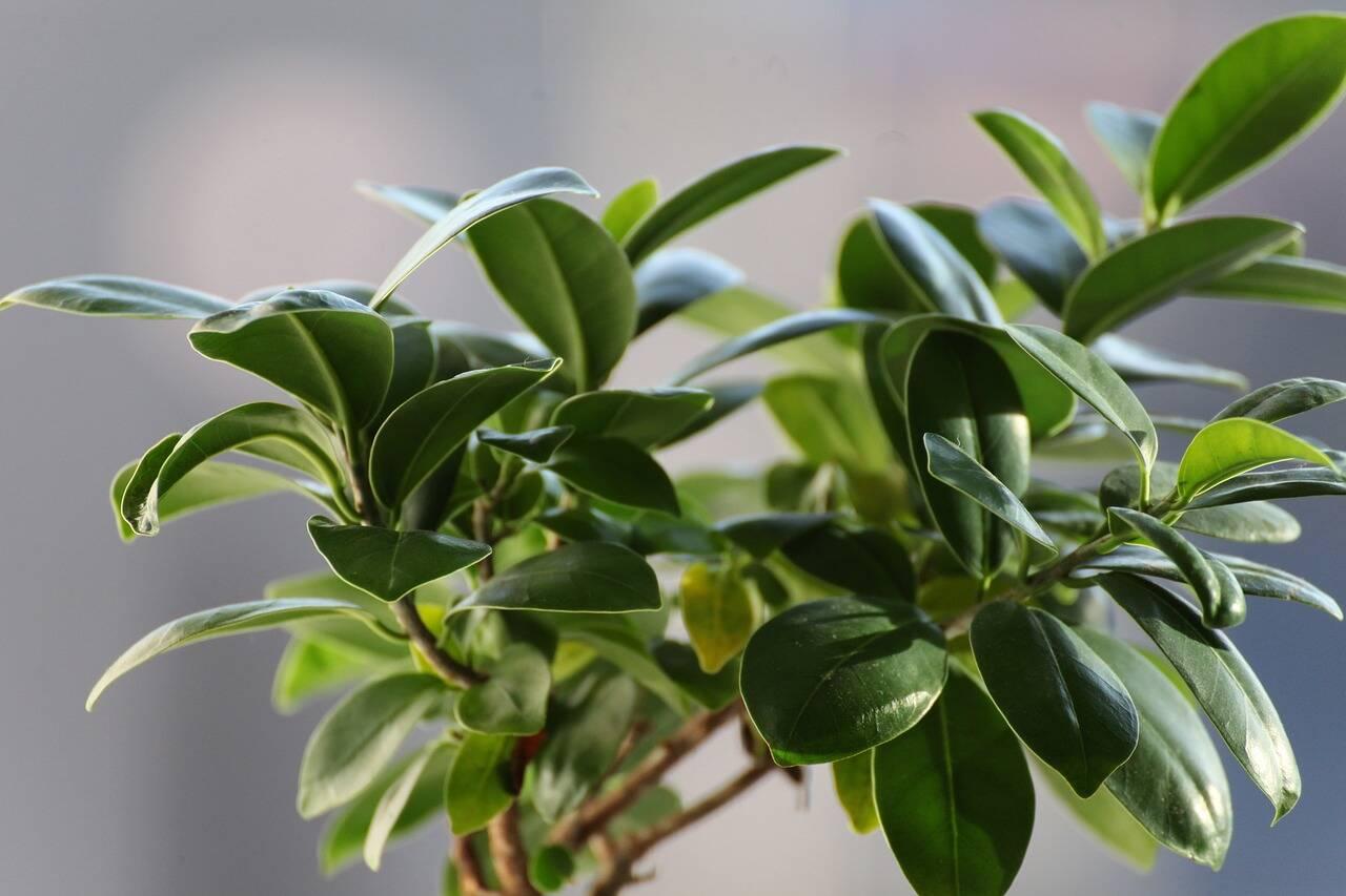 Árvore-da-borracha