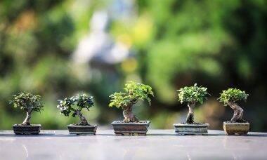 Como cuidar de um bonsai?