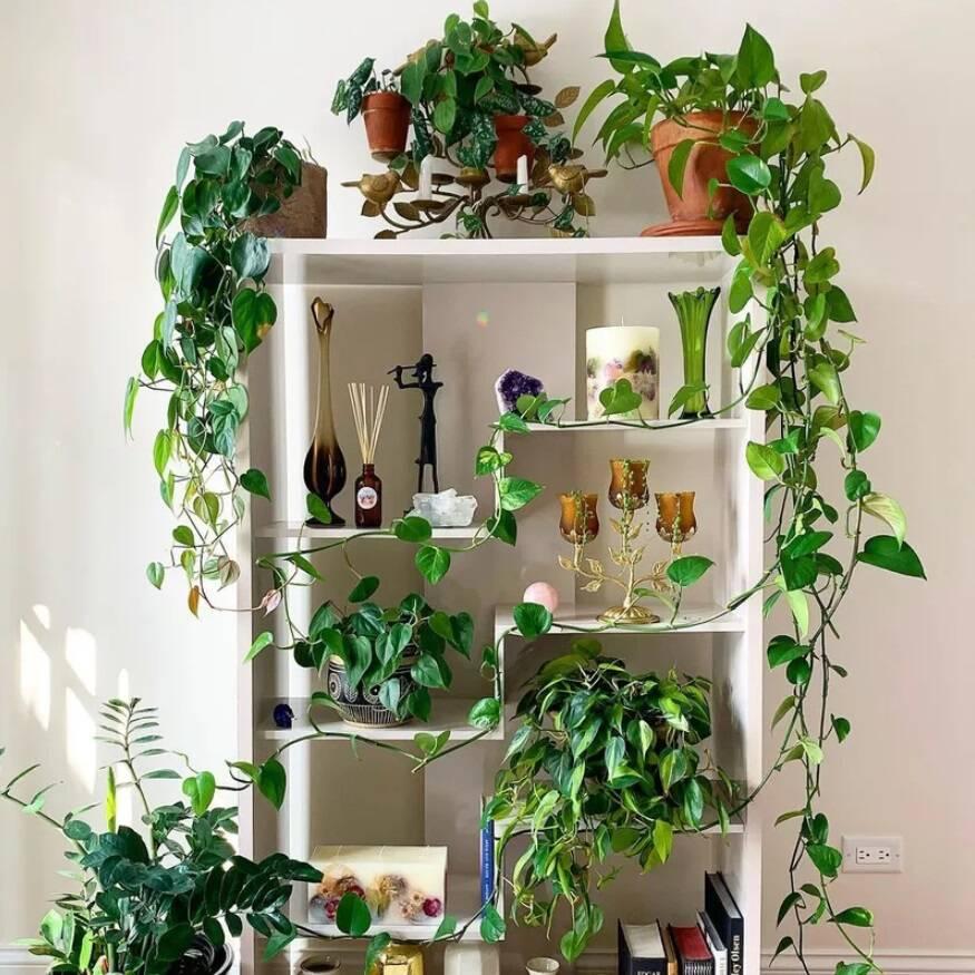 Plantas de banheiro: jiboia