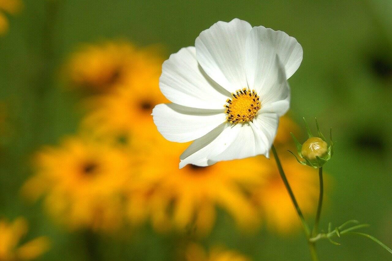 Flores de jardim: Cosmos
