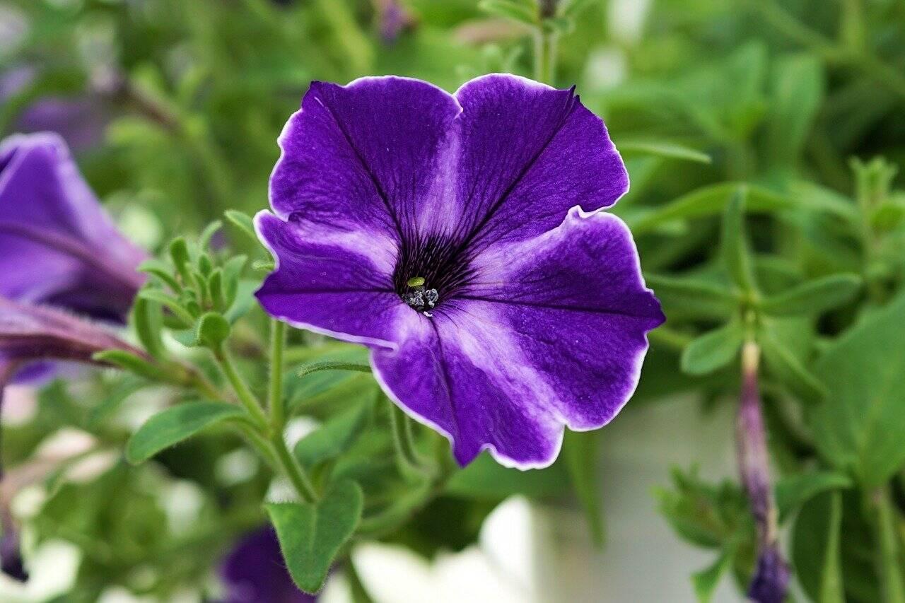 Flores de jardim: Petúnias