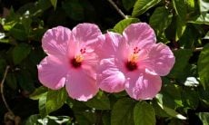 Como cultivar hibisco. Crédito: Pixabay