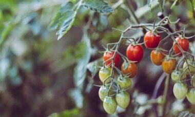 Erros que você pode evitar na hora de plantar tomates. Foto: Markus Spiske